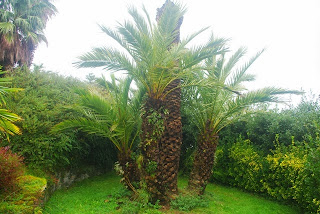 Luarca, Jardines de la Fonte Baixa, palmera imperial
