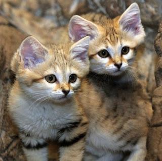 Sand Cat (Kucing Pasir)