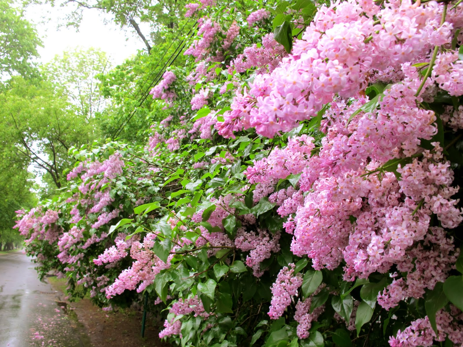 Jenny Steffens Hobick: Flashback : Lilac Season | Mr. Darcy Stopping on