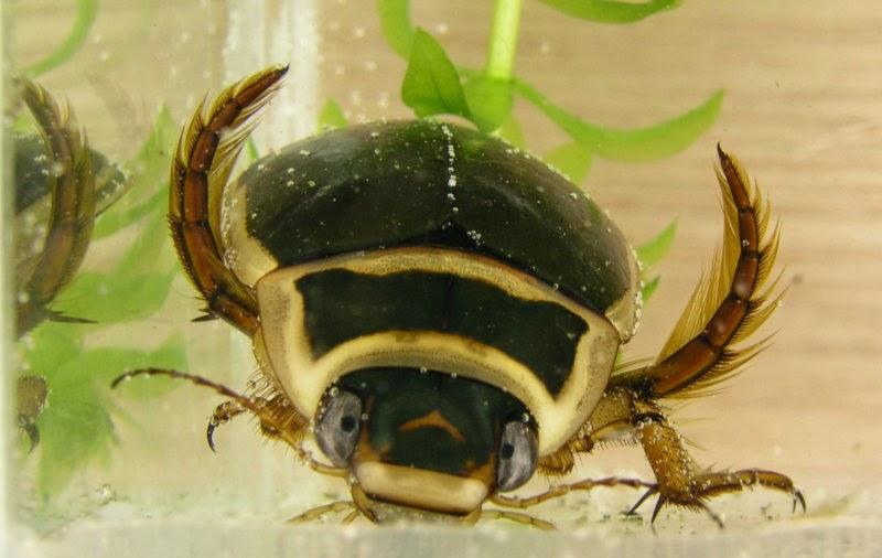 Características, reprodução, alimentação e distribuição do Escaravelho aquático (Dytiscus marginalis)