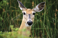 What Do Deer Hear
