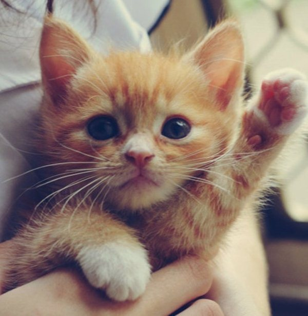 funny cats pictures, kitten waving at you