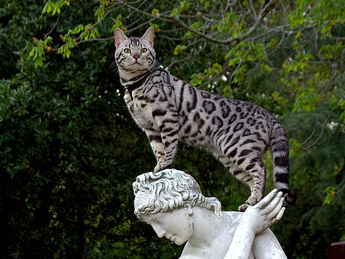 most expensive, most expensive animal, most expensive Bengal cat