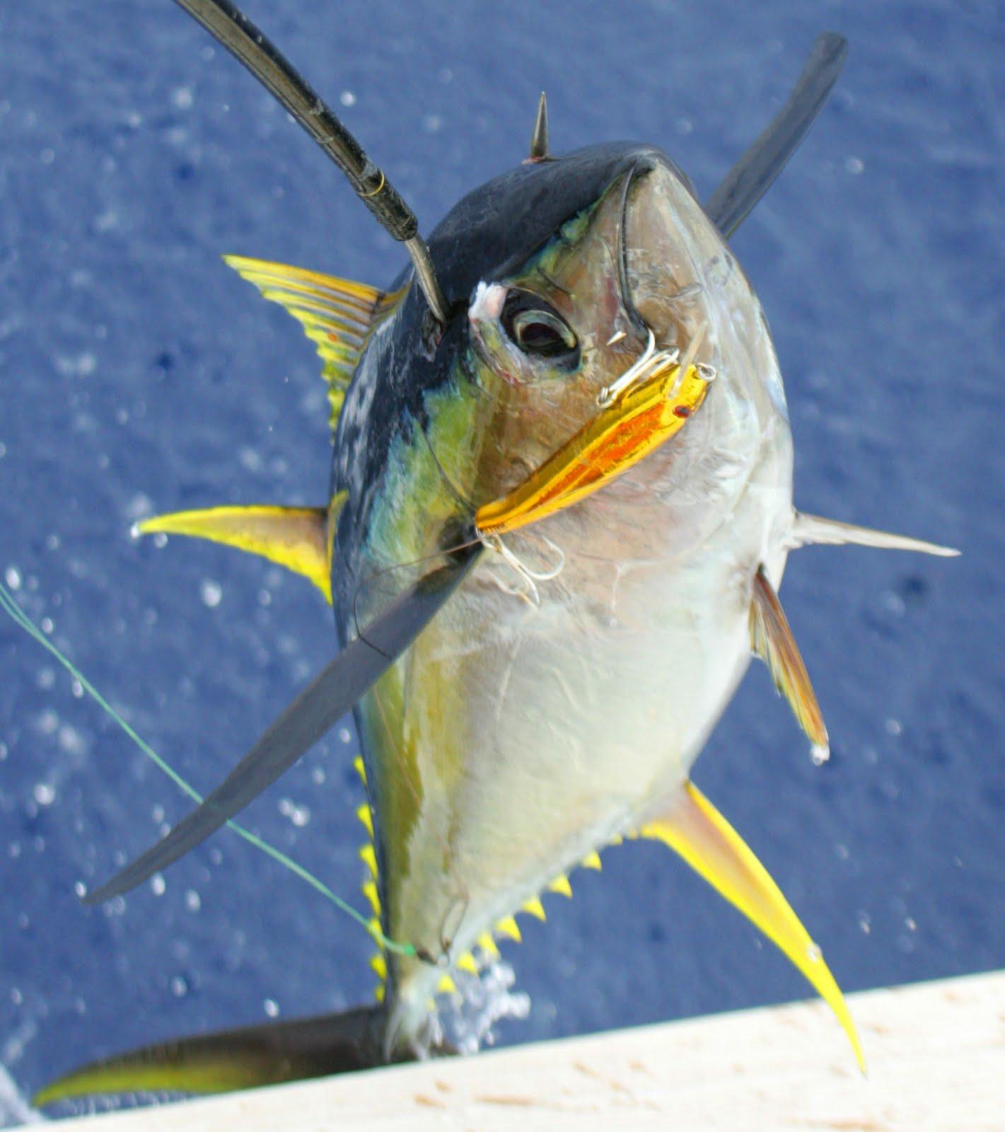 Tropical affair fishing with new 2012 penn reel for for Ahi tuna fish