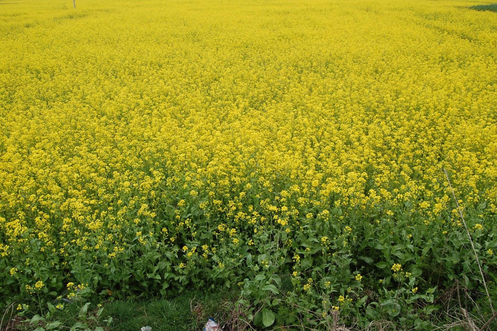 Chinar shade mustard flowers bloom in spring season of kashmir mustard flowers bloom in spring season of kashmir kashmir spring time mightylinksfo