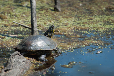 Western Painted Turtle, Kountze Lake