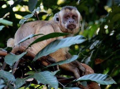 Macaco prego no Parque Areião em Goiânia.
