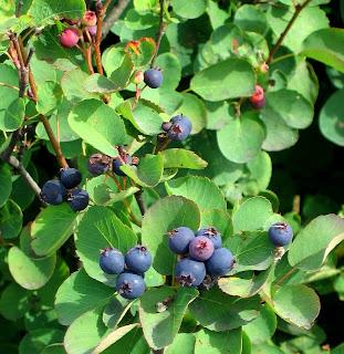 Il mondo in un giardino bacche per tutti i gusti e tutte for Arbusti profumati da giardino