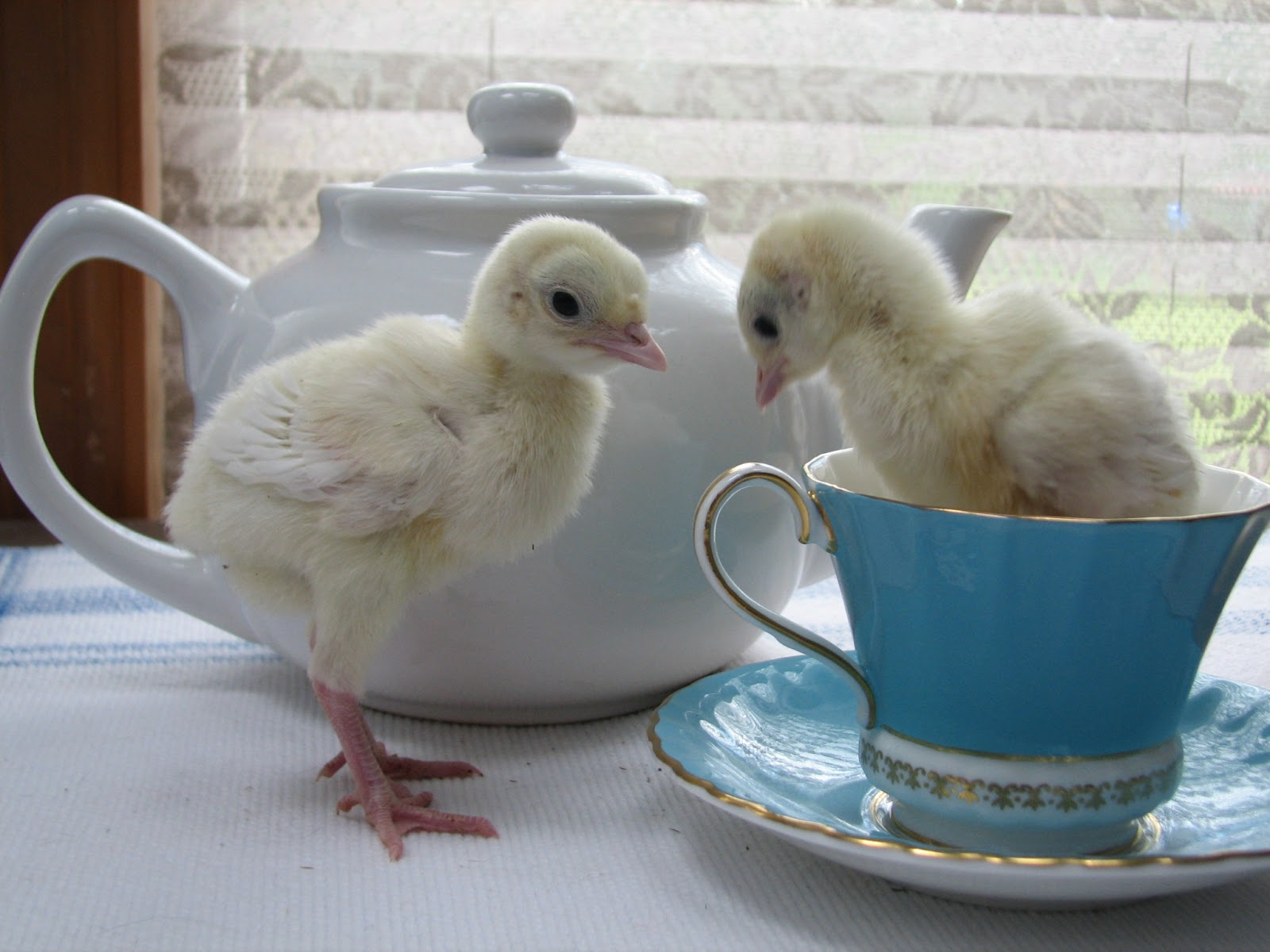 Just Chickens My Midget White Turkeys As Poults