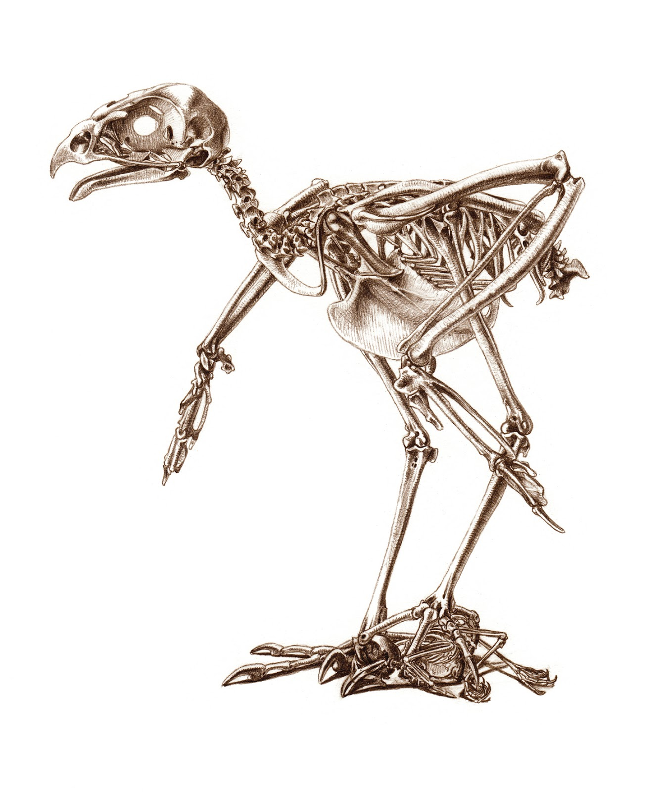 Eagle Skeleton Sean S D More Haliaeetus Leucocephalus Research Eydt Bald Diagram Galleryhipcom The Hippest Galleries For Kids