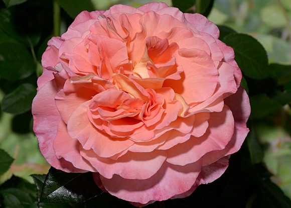 Augusta Luise rose сорт розы купить фото