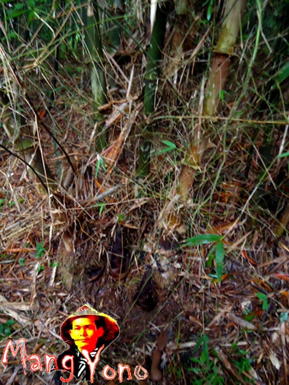 Rebung / tunas Bambu Betung di kebun