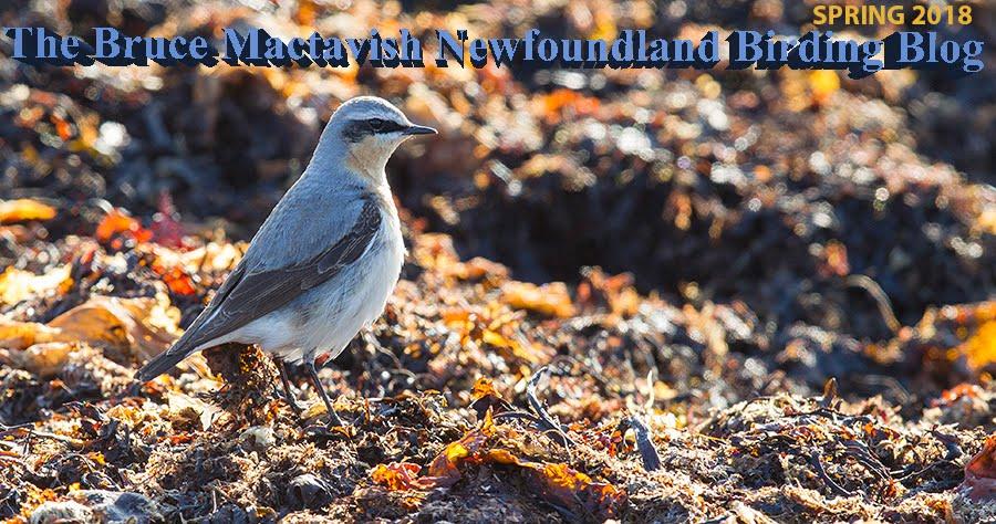 The Bruce Mactavish Newfoundland Birding Blog