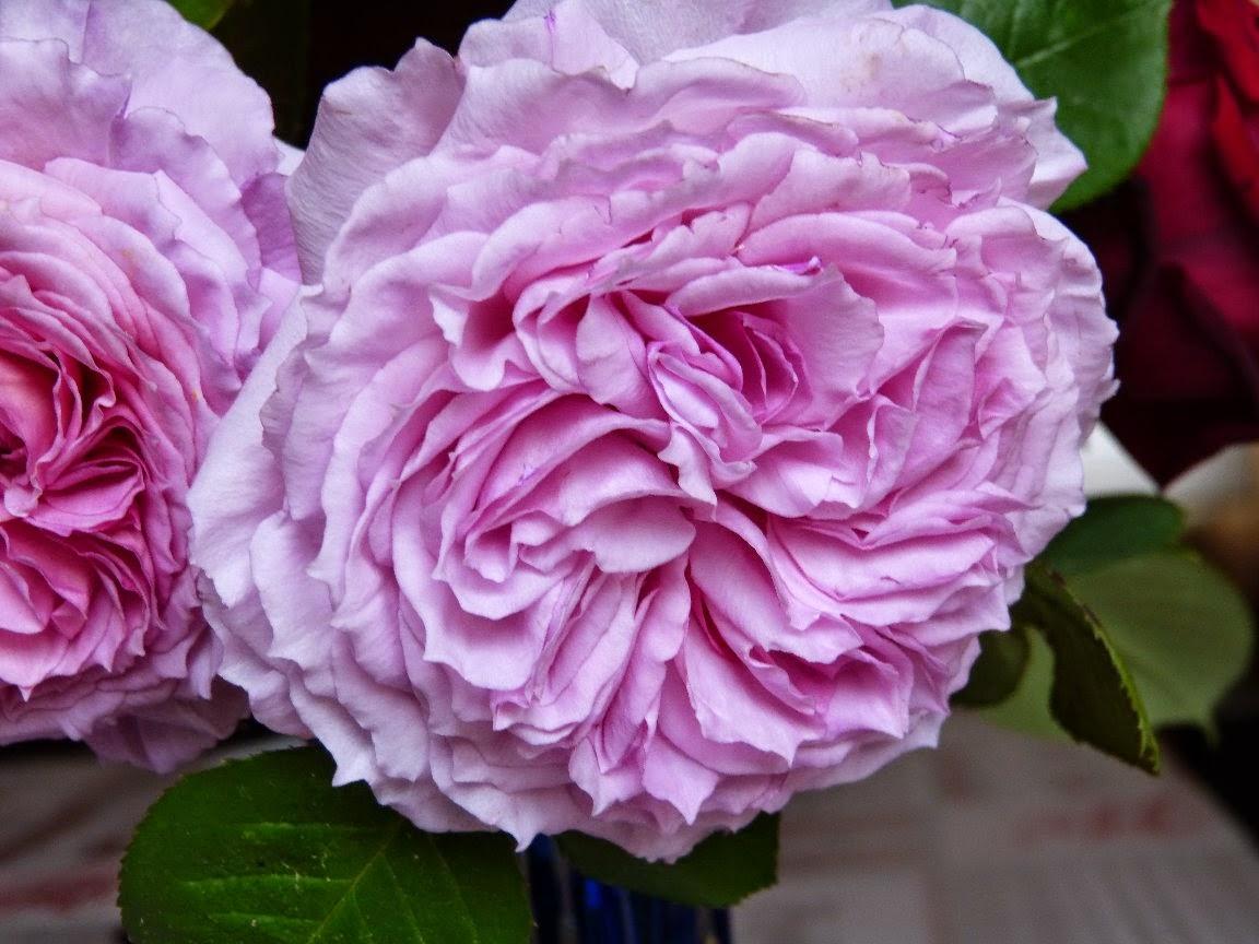 Premières roses du jardin