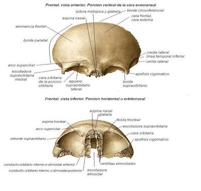 Huesos del cráneo - Esfenoides   J. Yoncon - Anatomía humana con ...