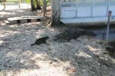 gambar kucing melawan aligator