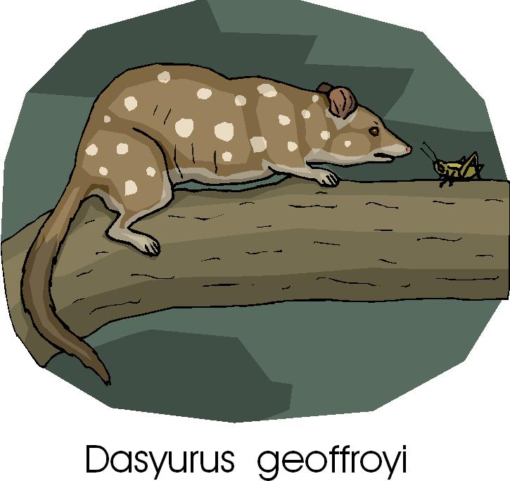 Western Quoll | Dasyurus Geoffroii Free Clipart