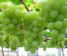 Cara Memelihara Tanaman Anggur
