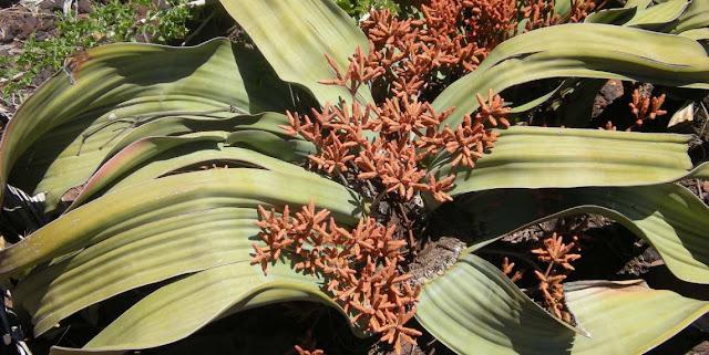Welwitschia mirabilis y plantas
