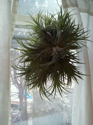 gardening in the boroughs of nyc air plants grow without soil. Black Bedroom Furniture Sets. Home Design Ideas