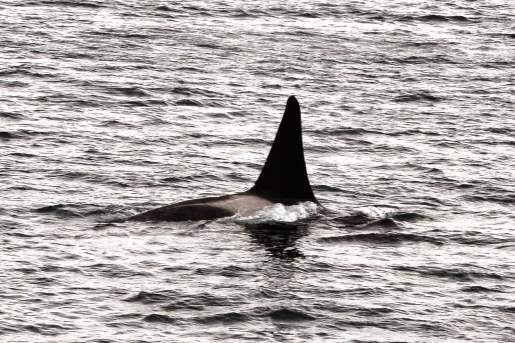 Beagle Canal orca fin