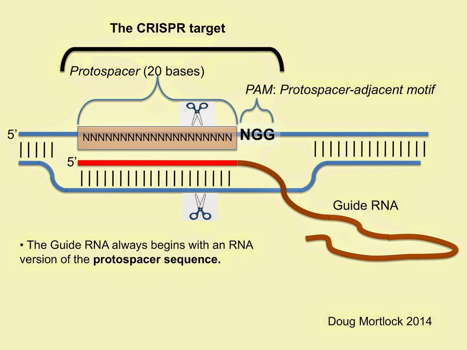 A crispr blog bibliography paper in vivo interrogation of gene the cas9 crispr target ccuart Image collections