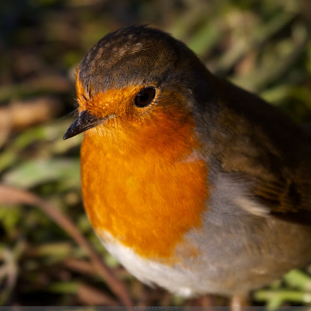 Roodborst - Europeanen Robin -  Erithacus rubecula