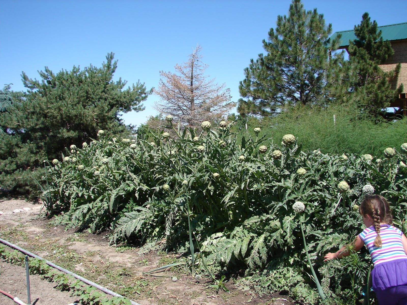 New Utah Gardener Will Artichoke Plants Over Winter In Utah
