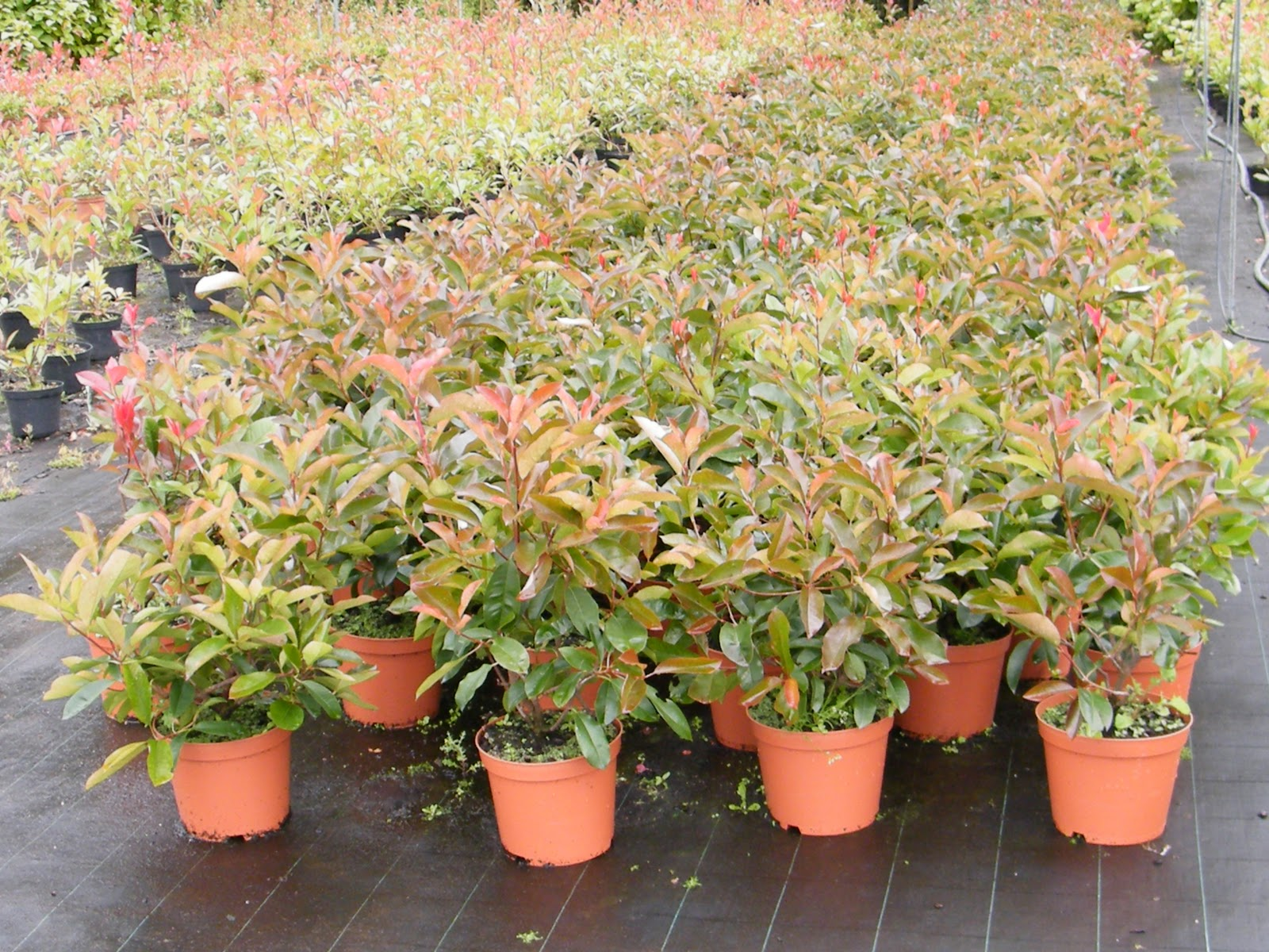 vivero galiplant ornamental s l photinia x fraseri 39 red select 39. Black Bedroom Furniture Sets. Home Design Ideas