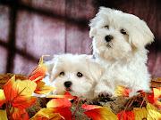 Dos lindos cachorros blancos. Una foto de dos adorables cachorrillos blancos .