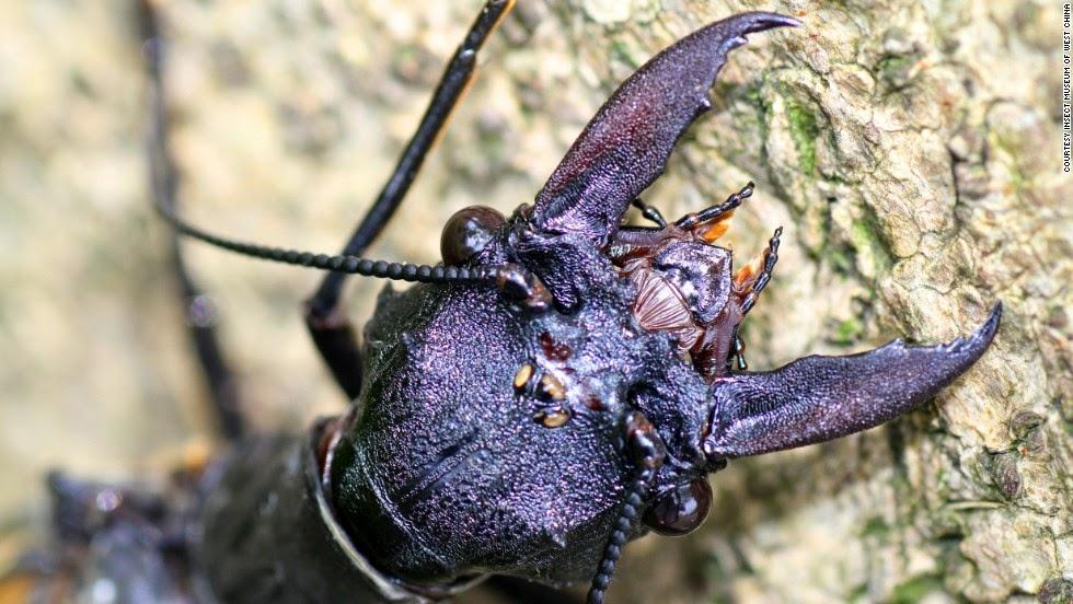 Dobsonfly gergasi serangga terbang terbesar di dunia