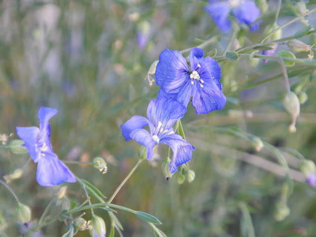 flax seed plant perennial herb wild flower