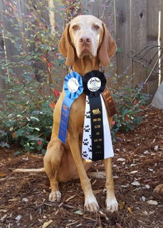 Barn Hunt novice title RATN Nov 2015
