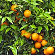 Mermelada Dulce A Los 4 Cítricos Ca'n Tovelo (naranja, Clementina, Lima Y Limón)