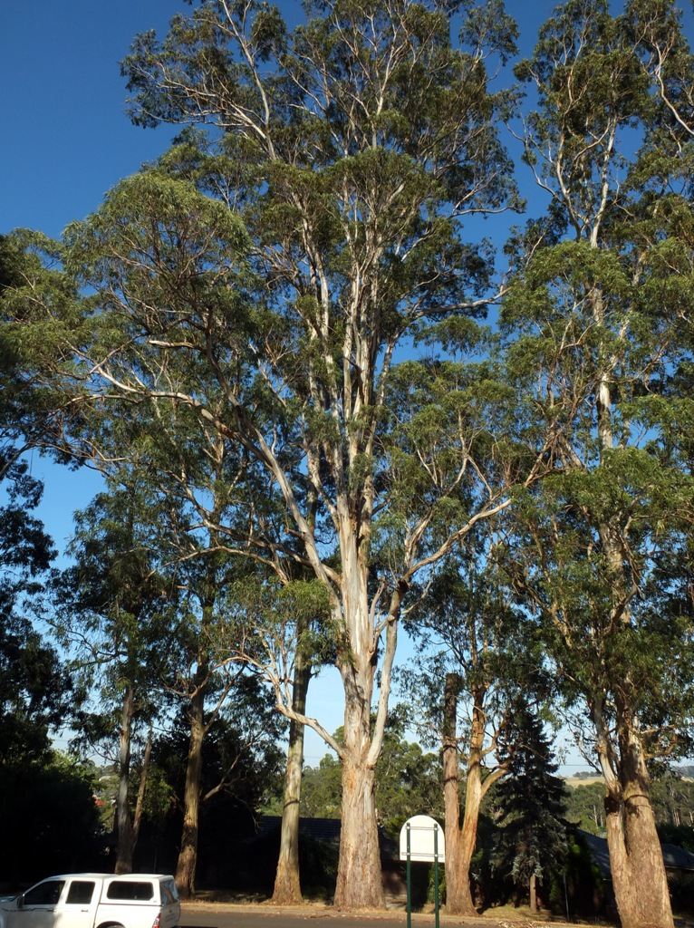 Gouldiaes blog drouins trees the mountain grey gum gums have very long lance shaped or sickle shaped leaves and the buds and fruit occur usually in groups of seven on flattened stems the white flowers mightylinksfo
