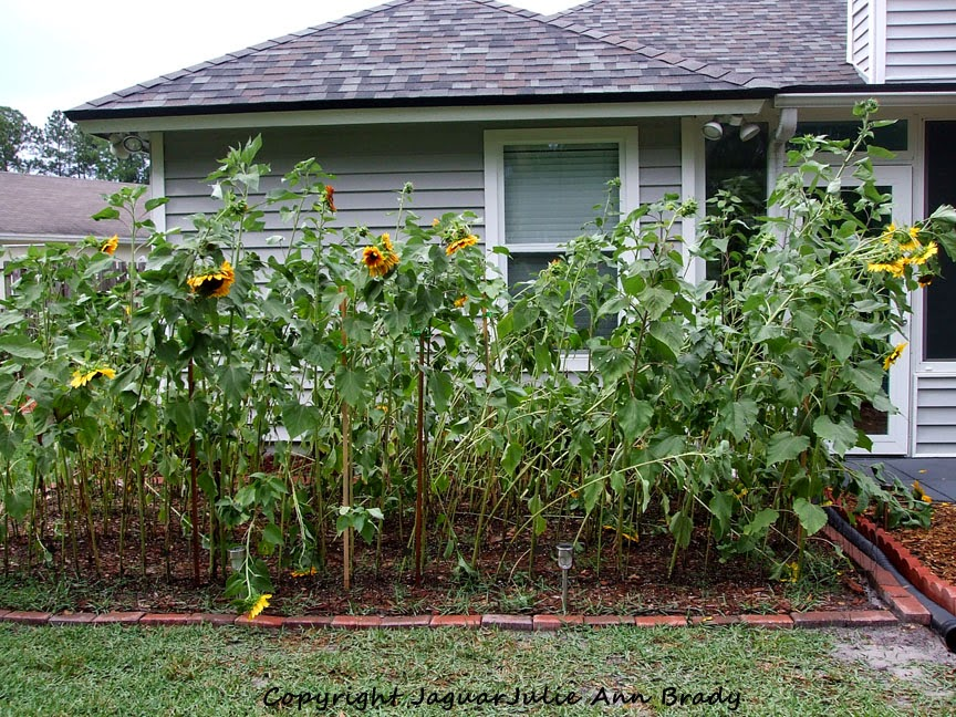 My Eight Foot Sunflower Garden Impacted by the Wind