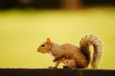 public domain picture of a squirrel