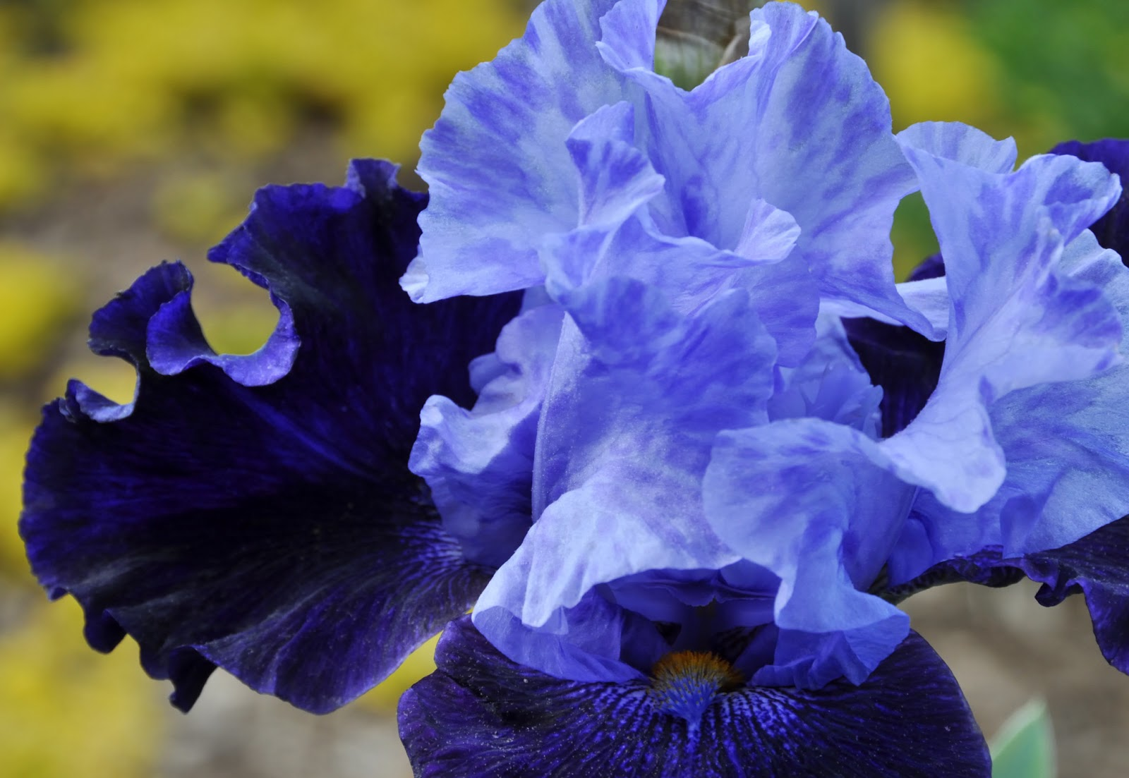 Labyrinth by the bay may 2013 the name of this iris which came from my mothers garden in ohio is unknown to me it is a shame since the complex mix of light blue is stunning izmirmasajfo Images