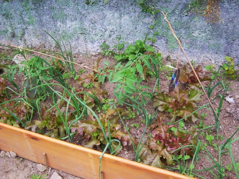Progresos en el huerto 2013 for Asociacion de cultivos tomate