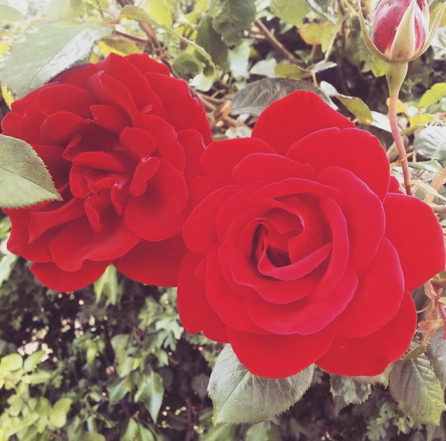 weekly reflect roses