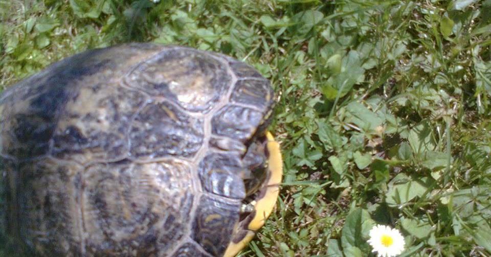 Allevamento amatoriale tartarughe acquatiche dalle - Pagine di colorazione tartaruga ...