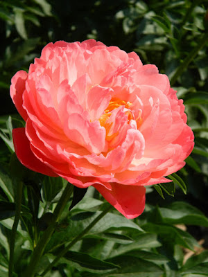 Paeonia suffruticosa Coral Sunset peony by garden muses-not another Toronto gardening blog