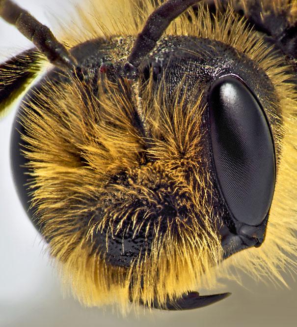 عين نحلة عادية