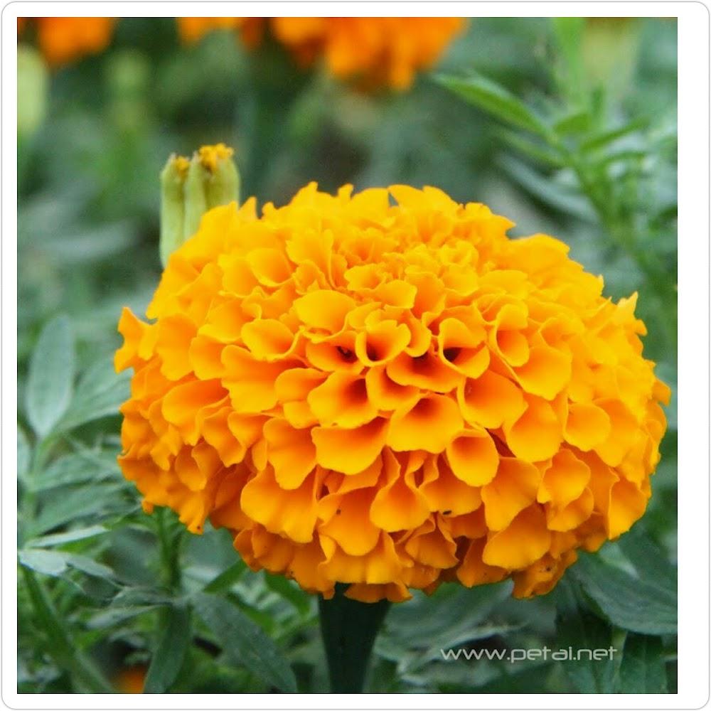 Kelopak Bunga Tahi Ayam