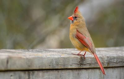 Y con ustedes, el Sr. Cardenal (Aves del Edén)