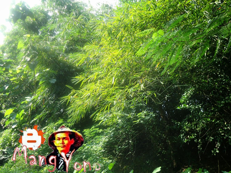 Manfaat dan khasiat dari bambu