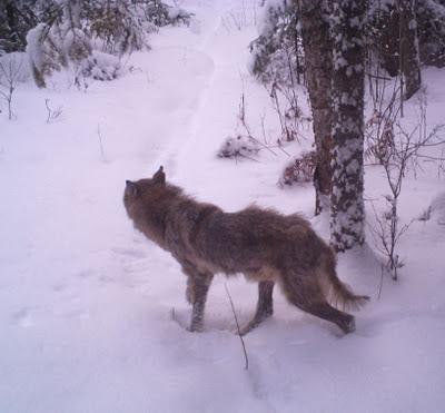 Northwestern Ontario coyote