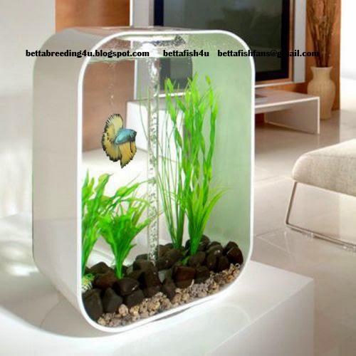 All about betta fish decorative betta fish tank for Betta fish tank