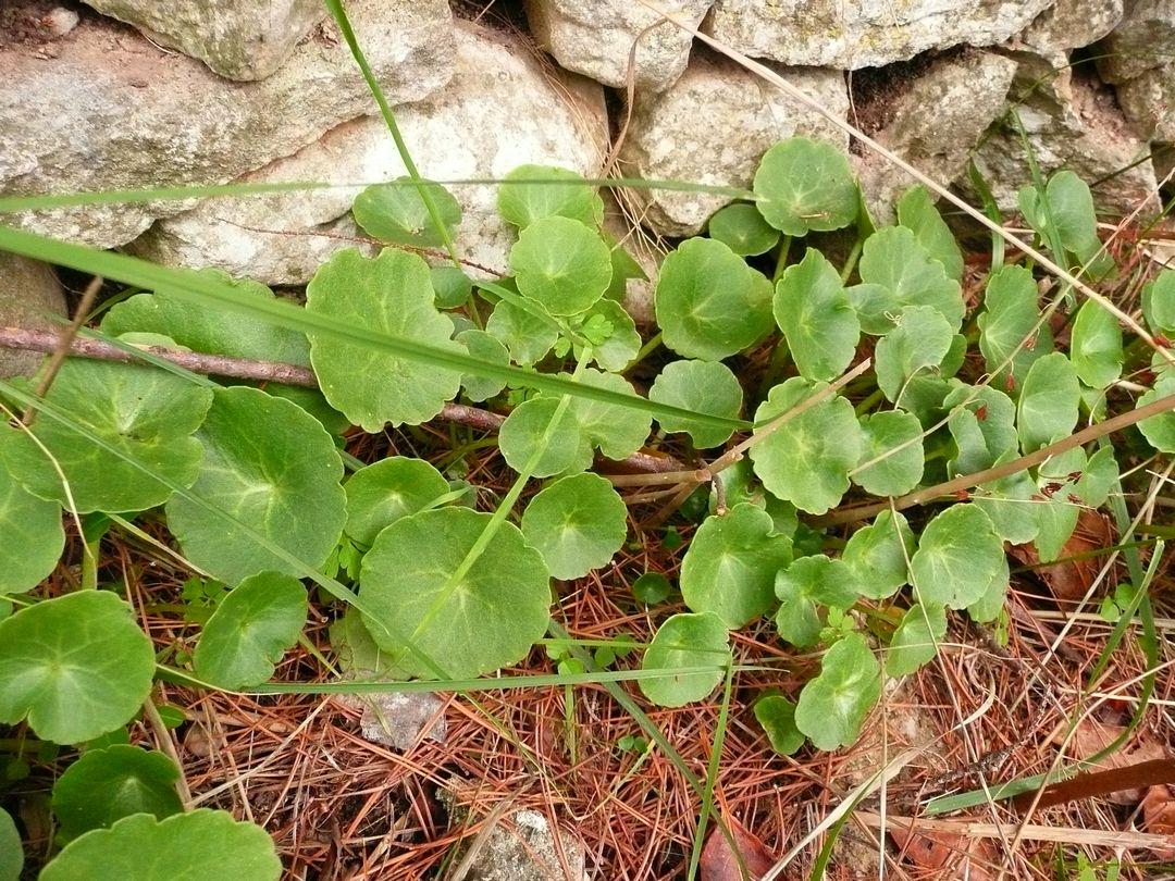 Plantes sauvages comestibles et m dicinales for Plante comestible
