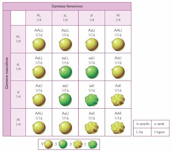 Experimentos de Mendel Gametos femeninos y masculinos
